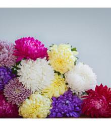 Astra čínská Serenade směs barev - Callistephus chinensis - semena astry - 110 ks