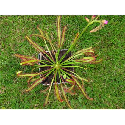 Rosnatka červená - Drosera capensis Giftberg - prodej semen - 15 ks