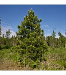Borovice Limba - Pinus cembra sibirica - semena borovice - 7 ks