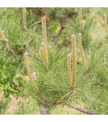 Borovice yunnan - Pinus yunnanensis - semena borovice - 5 ks