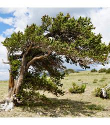 Borovice osinatá - Pinus aristata - semena borovice - 5 ks