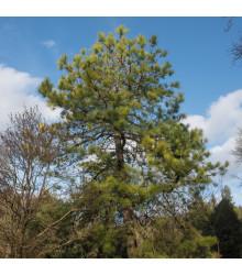 Borovice čínská - Pinus tabuliformis - semena borovice - 7 ks