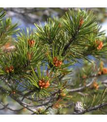 Borovice pokroucená - Pinus contorta - semena borovice - 7 ks