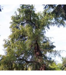 Tisovec mexický - Taxodium huegelii - semena tisovce - 5 ks