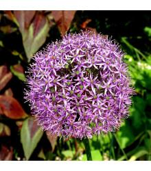 Česnek Christophii - Allium Christophii - cibuloviny - 2 ks