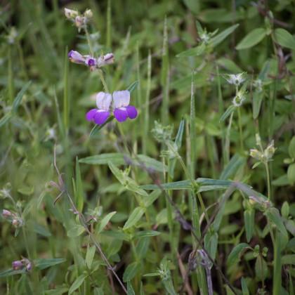 Kolinsie - Collinsia heterophylla - semena kolinsie - 300 ks