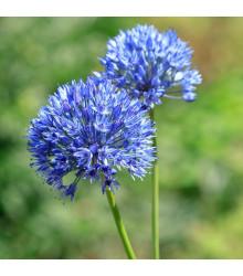 Česnek azurový - Allium caeruleum - cibuloviny - 3 ks