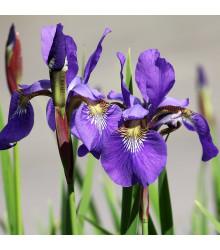 Kosatec Fialová senzace - Iris - cibuloviny - 3 ks