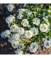 Letničky Zahradní sen v bílém - směs letniček - semena - 0,9 g