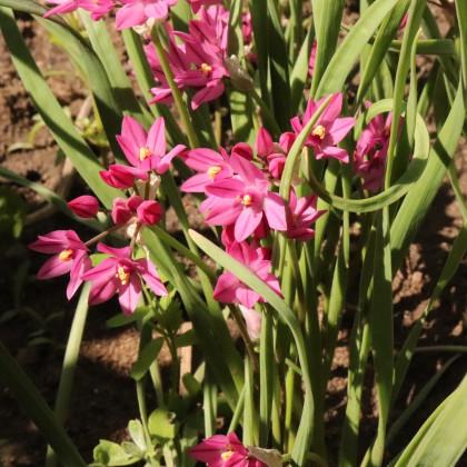 Česnek vysokohorský - Allium oreophillum - cibuloviny - 3 ks