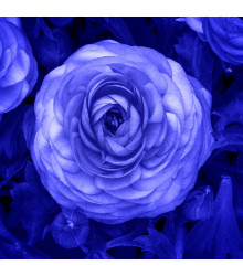 Pryskyřník modrý - Ranunculus asiaticus - cibuloviny - 3 ks