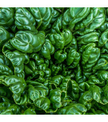 Tatsoi - Brassica rapa var rosularis - semena - 100 ks