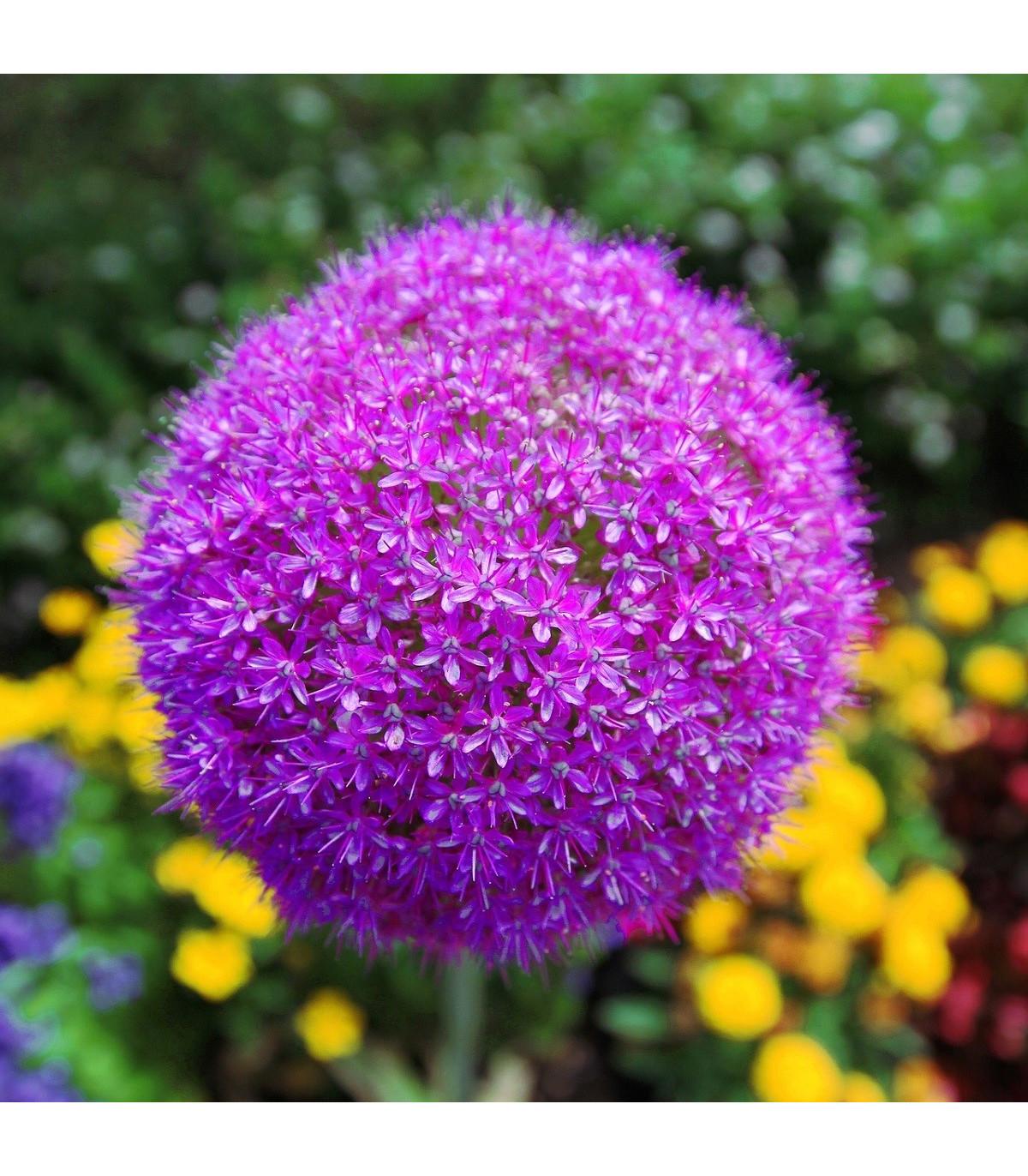 Okrasný česnek Gladiator - Allium Gladiator - cibuloviny - 1 ks