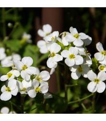 Huseník alpský bílý - Arabis alpina - semena - 200 ks