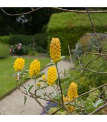 Stříbrocist Batandierův - Pineapple broom - Argyrocytisus battandieri - semena stříbrocistu - 6 ks