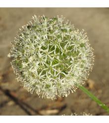 Česnek Mont Blanc - Allium - cibuloviny - 1 ks