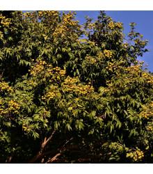 Mýdelník pravý - Sapindus saponaria - semena mýdelníku - 3 ks
