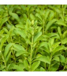 Stévie sladká - Stevia rebaudiana - semena stévie - 15 ks