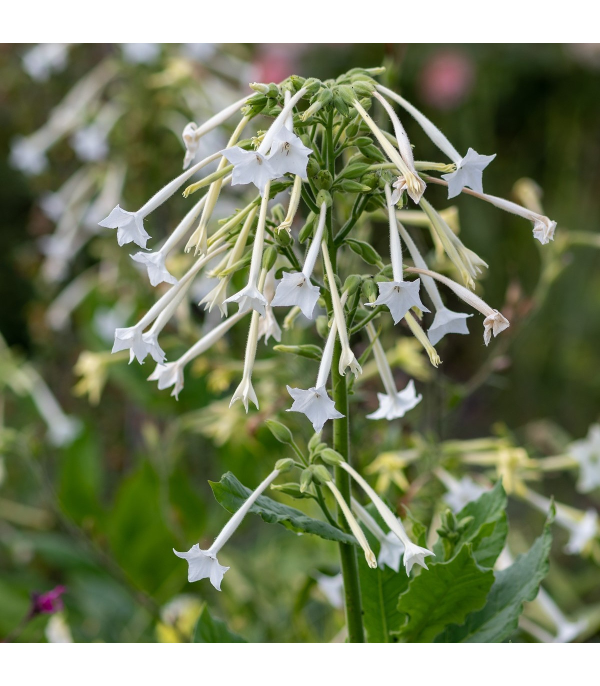 Tabák planý - Nicotiana sylvestris - semena tabáku - 200 ks