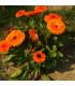 Měsíček lékařský Neon - Calendula officinalis - semena měsíčku - 40 ks