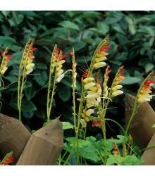 Kvamoklit pnoucí - Quamoclit lobata - semena kvamoklitu - 20 ks
