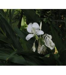 More about Okrasný zázvor - Hedychium coronarium - okrasný zázvor - semena - 2 ks