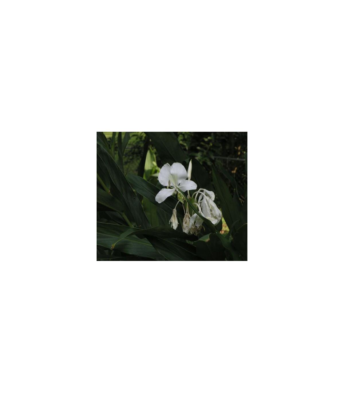 Hedychium- okrasný zázvor- semena- 2 ks