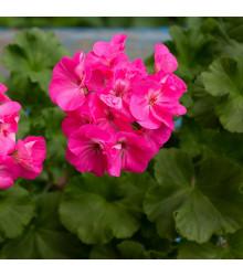 Muškát páskatý Nekita F1 Deep Rose - Pelargonium zonale - semena muškátu - 4 ks