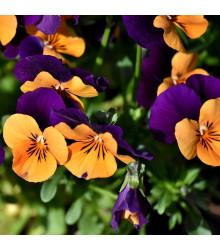 Maceška Jolly Joker F2 - Viola wittrockiana - semena macešky - 20 ks
