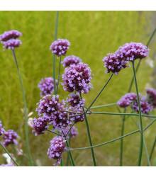 Sporýš argentinský - Verbena bonariensis - semena sporýše - 0,06 g