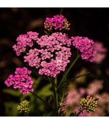 Řebříček tužebníkový Summer Berries F2 - Achillea millefolium - semena řebříčku - 20 ks