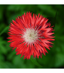 Chrpa Polka červená - Centaurea cyanus - semena chrpy - 100 ks