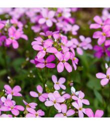 Huseník růžový - Arabis arendsii - semena - 0,03 g