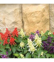 Šalvěj zářivá směs - Salvia splendens mix - semena šalvěje - 15 ks