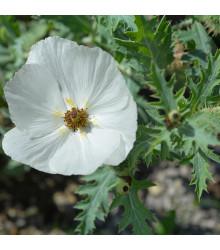 BIO pleskanka - Argemone platyceras - bio semena pleskanky - 50 ks
