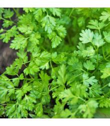 Kerblík setý Massa - Anthriscus cerefolium - semena kerblíku - 0,8 g
