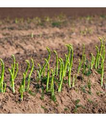Chřest lékařský - Mary Washington - Asparagus officinalis - semena - 35 ks