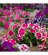 Petúnie nízká Stars mix - Petunia nana compacta - semena petúnie - 20 ks