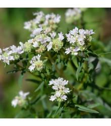 Americká horská máta - Pycnanthemum pilosum - semena máty - 20 ks