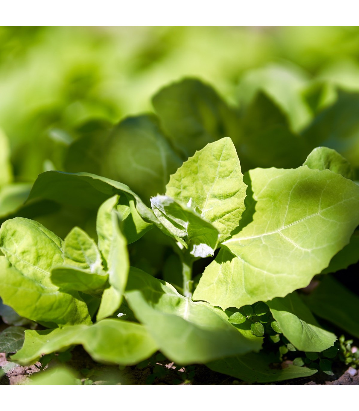 Lebeda zahradní - Atriplex hortensis - semena - 0,5 g