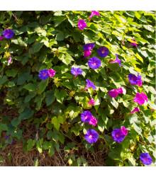 Povíjnice nachová směs barev - Ipomoea purpurea - semena povíjnice - 25 ks