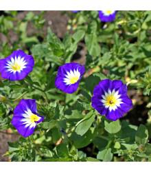 Svlačec trojbarevný - Convolvus tricolor - semena svlačce - 0,7 g