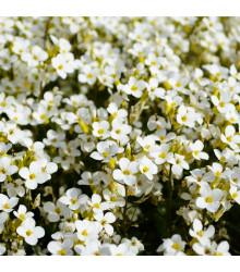 Tařicovka Snow Crystal - Lobularia maritima - semena tařicovky - 200 ks