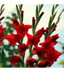 Mečík červený - Gladiolus Nanus Mirela - cibuloviny - 3 ks
