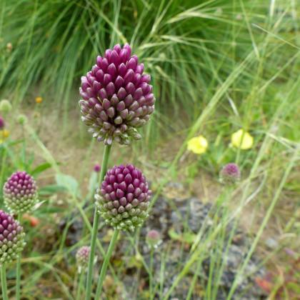 Okrasný česnek - Allium Sphaerocephalon - cibuloviny - 3 ks