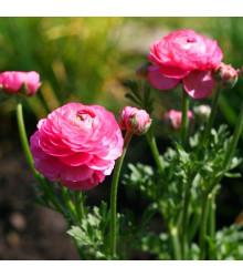 Pryskyřník růžový - Ranunculus asiaticus - cibuloviny - 3 ks