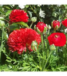 Pryskyřník plnokvětý červený - Ranunculus asiaticus - hlízy pryskyřníků - 3 ks