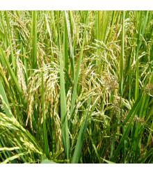 Rýže setá - Oryza sativa - semena rýže - 12 ks