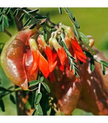 Africká bylina – Sutherlandia frutescens – semena africké byliny – 4 ks