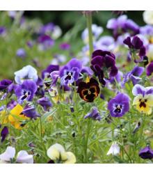 Maceška Germania směs barev - Viola wittrockiana - semena macešky - 200 ks